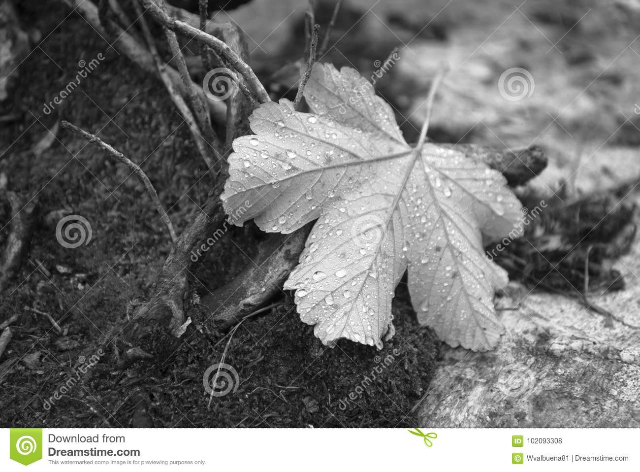 Black and white photography of maple leaf cover by some rainy drops walking in the forest in morning day of october image very full of deatils and bokeh