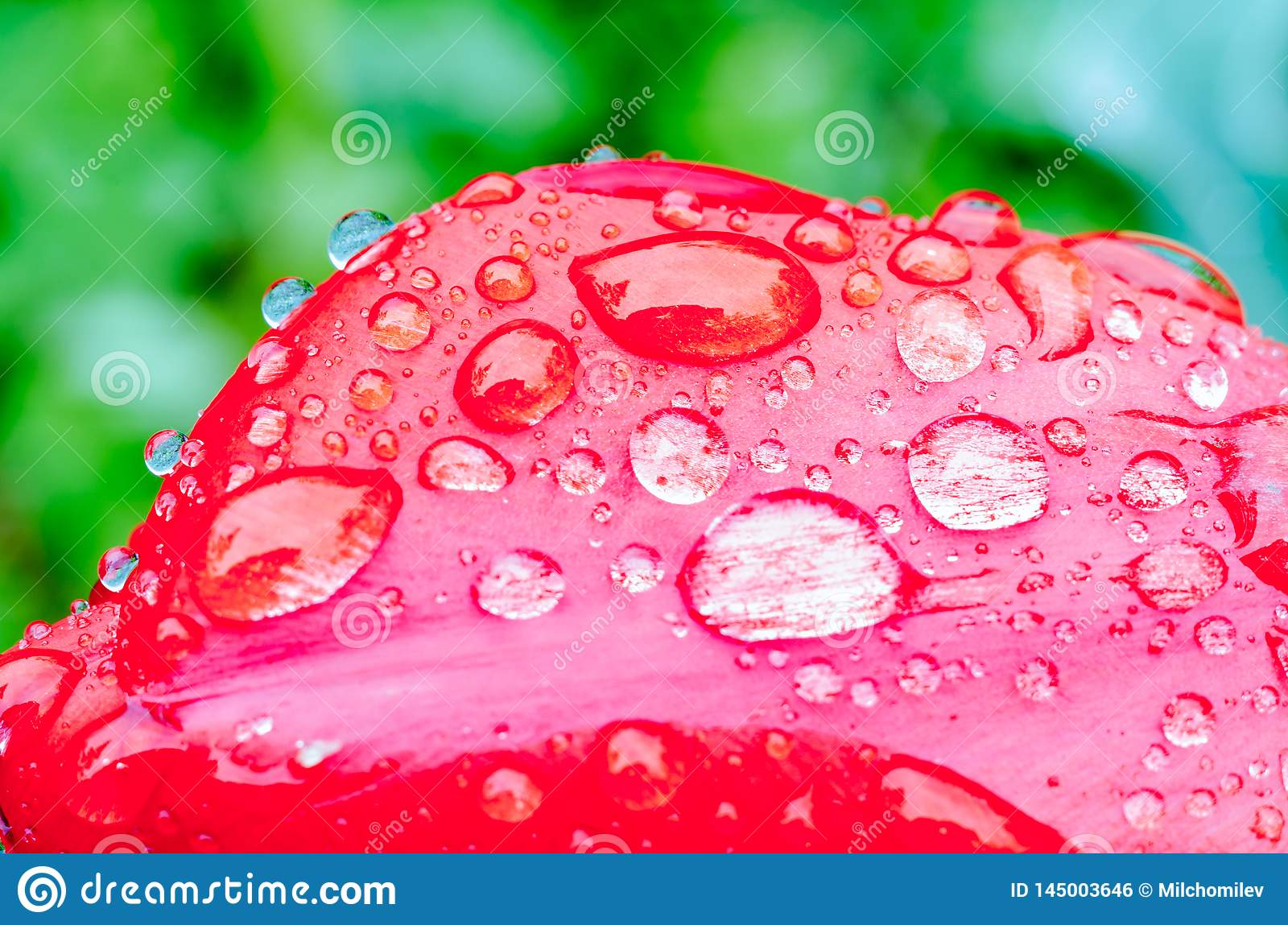 Drops of spring rain on red tulips