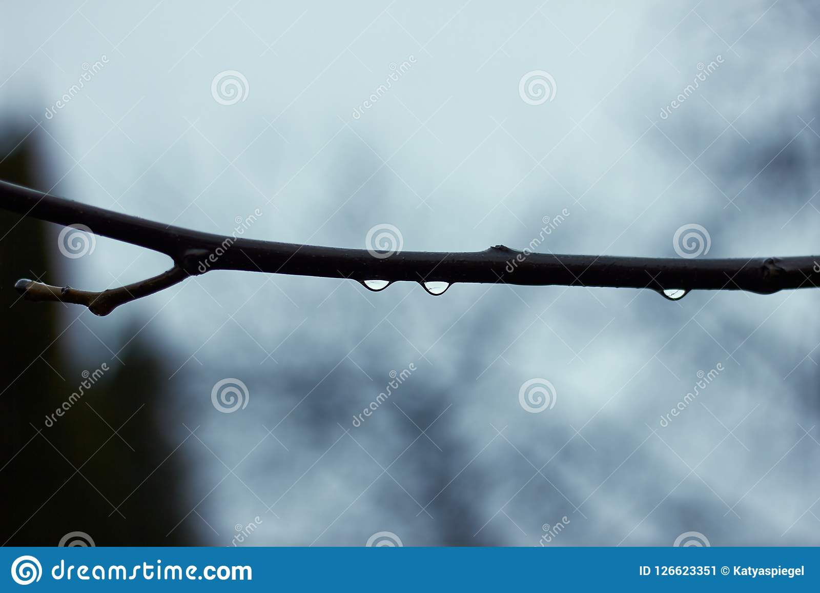 Drops of water on branch of tree in rainy day, macro