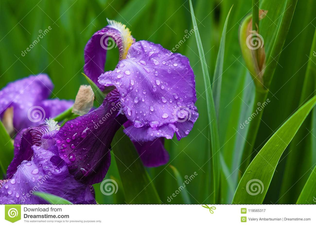 Drops Of Water On Petals Of An Iris Flower Stock Image Image Of