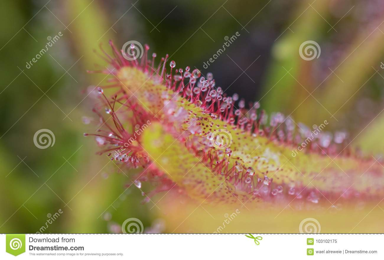 Drosera Capensis close-up view.