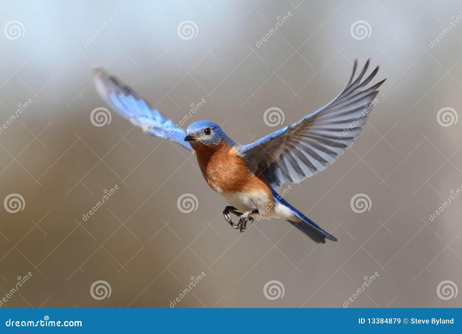Drossel im Flug