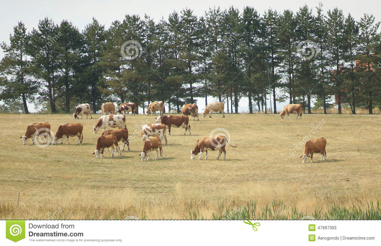 Drove of cows