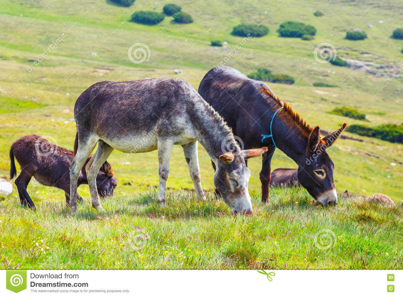 Drove of donkeys