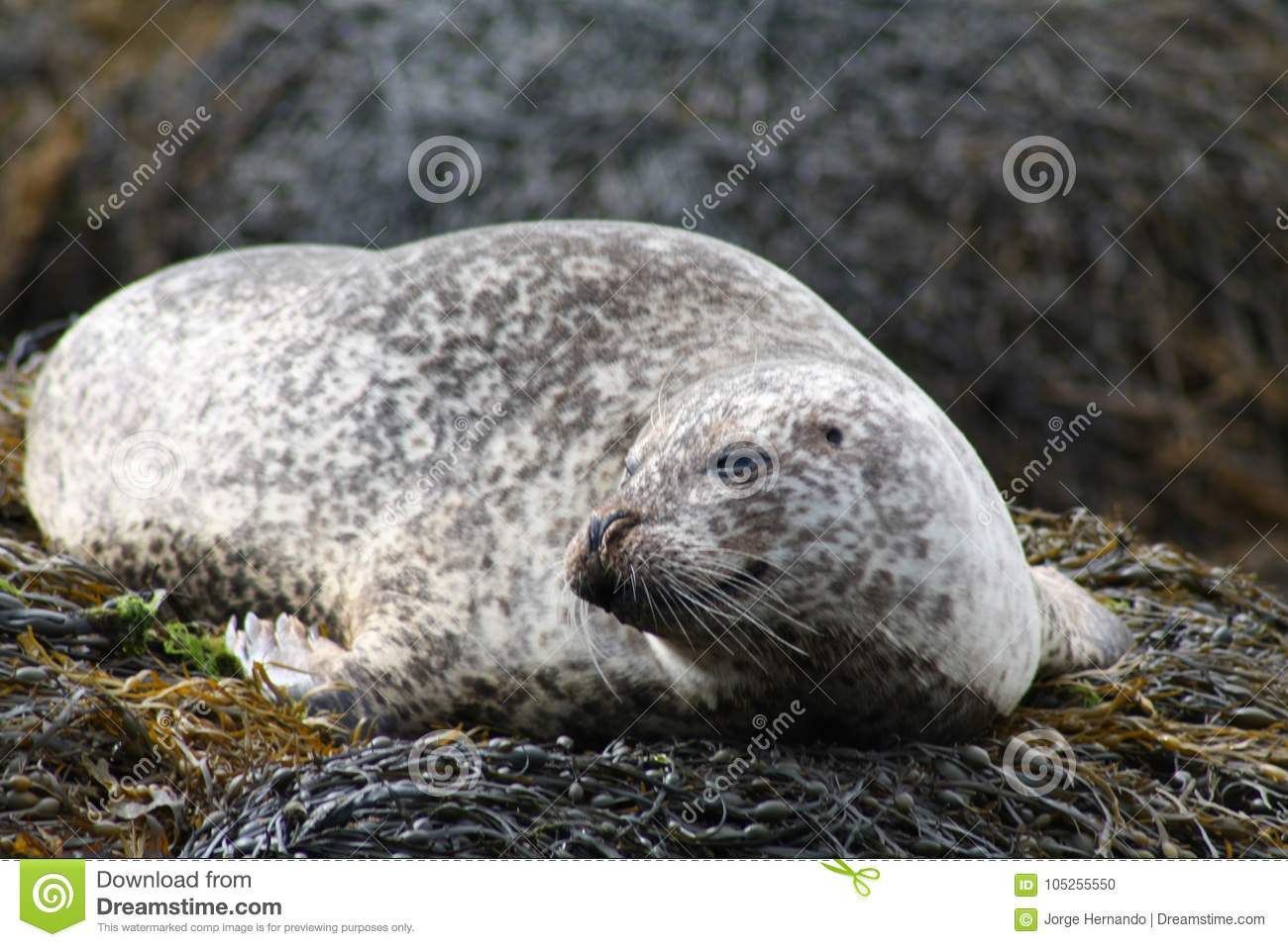 A Drowsy Seal