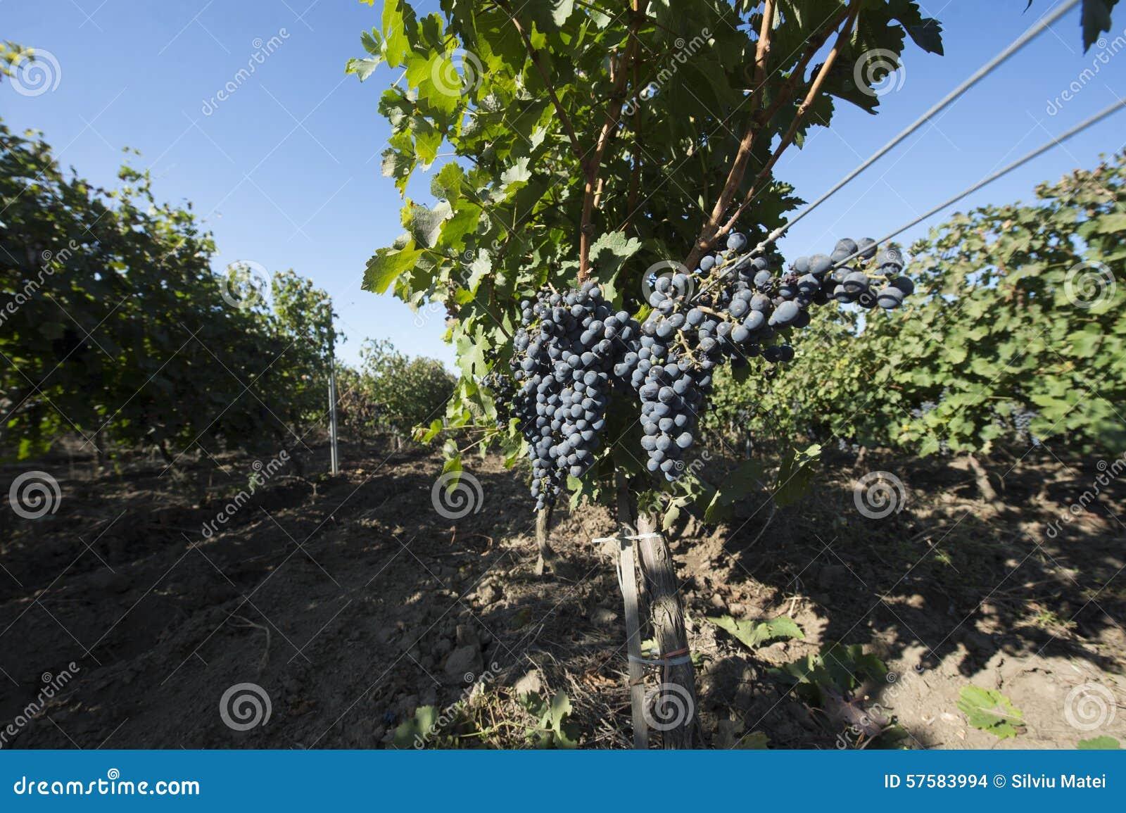 Druiven die in een wijnmakerij groeien