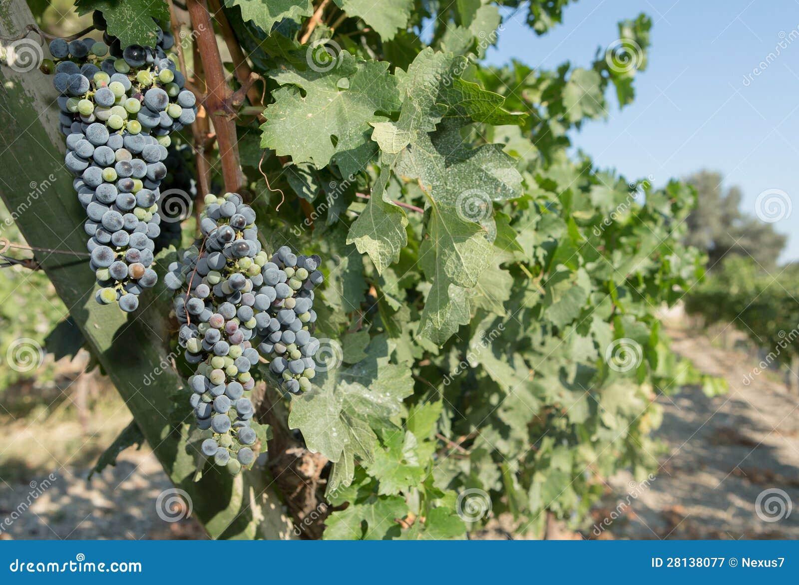 Druiven in een Wijngaard