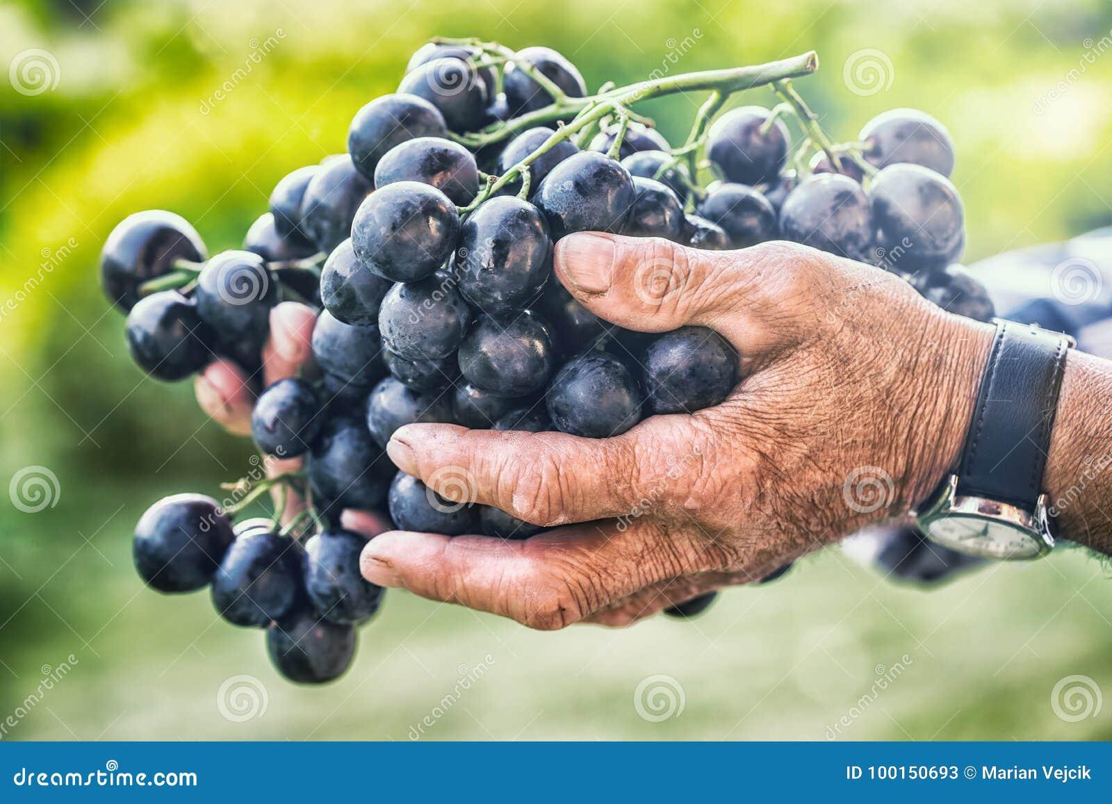 Druiven het oogsten De zwarte of blauwe in hand oude hogere landbouwer van bosdruiven