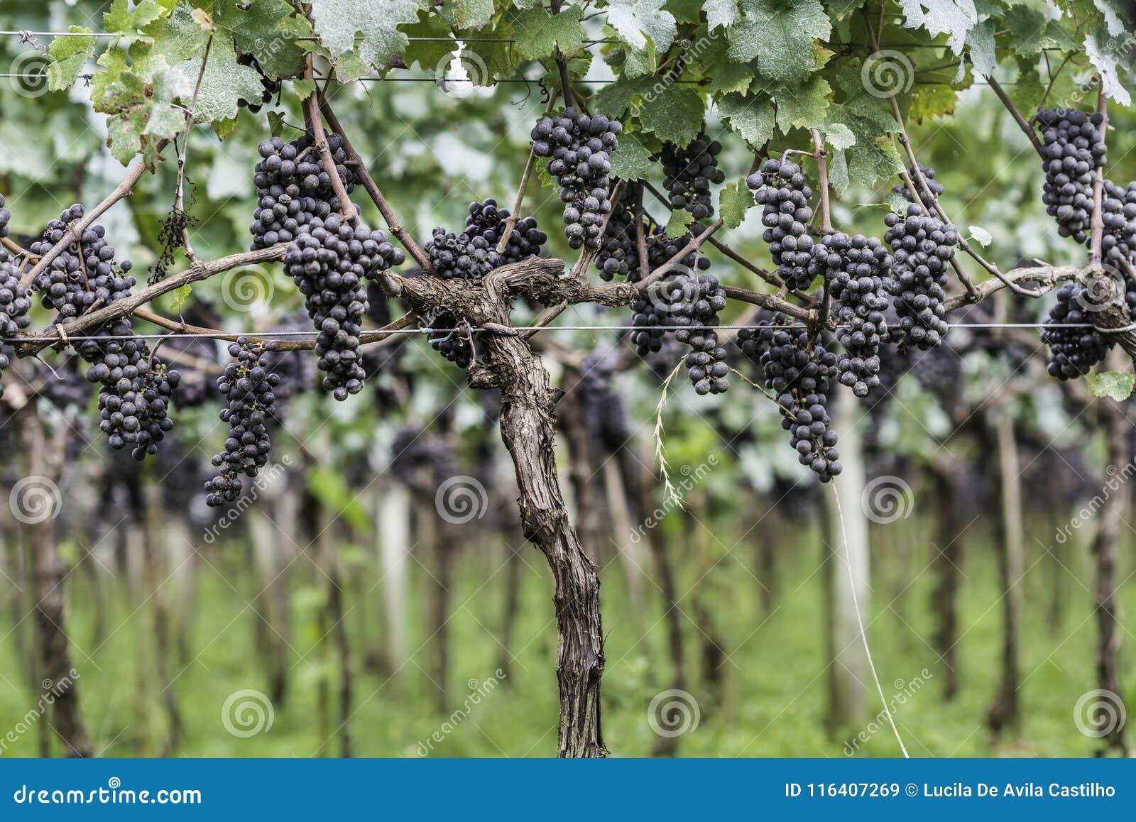 Druiven klaar om voor de volgende wijnproductie worden geoogst