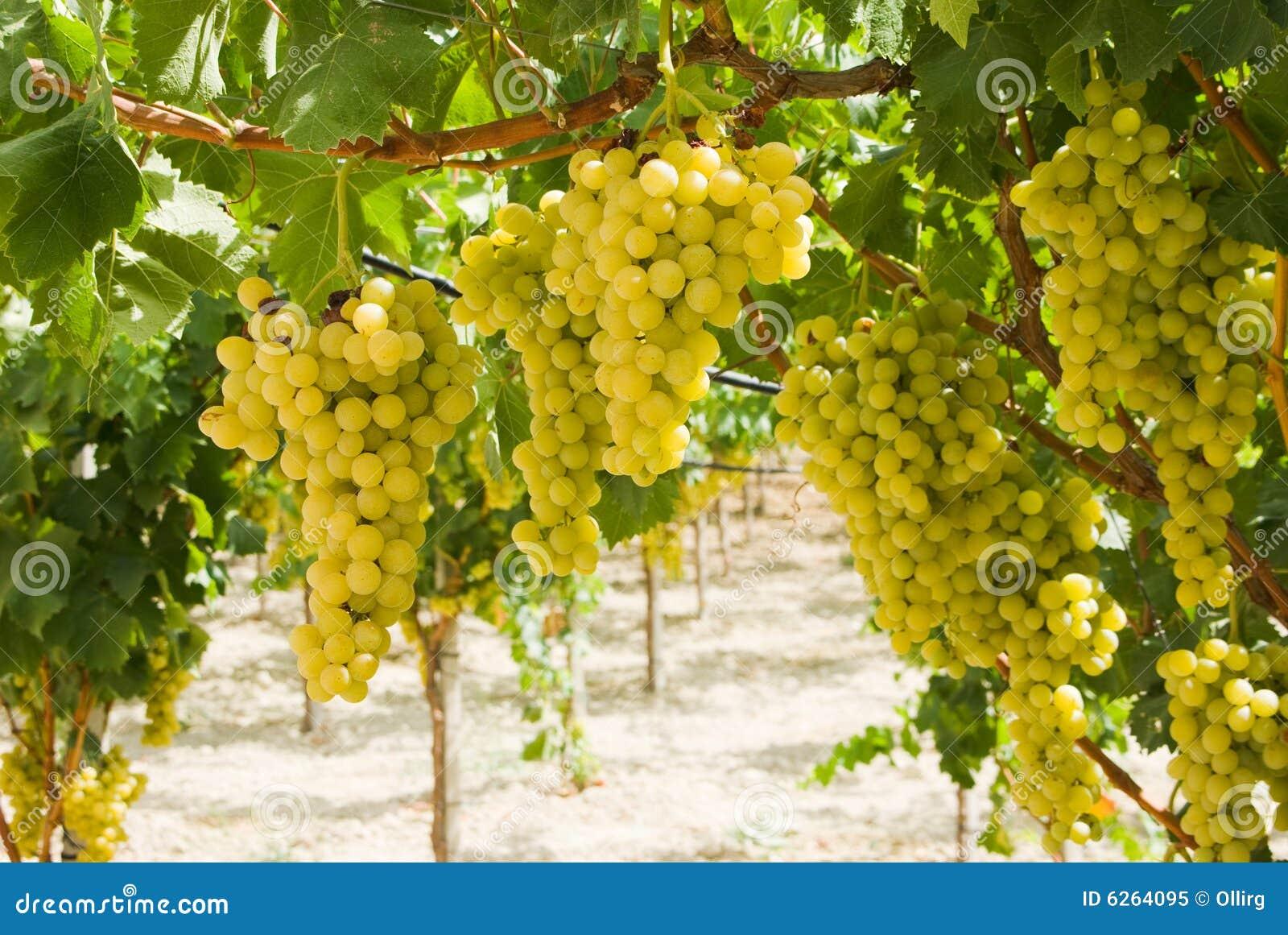 Druiven van witte wijnstok in een wijngaard stock afbeelding afbeelding 6264095 - Wijnstokken pergola ...