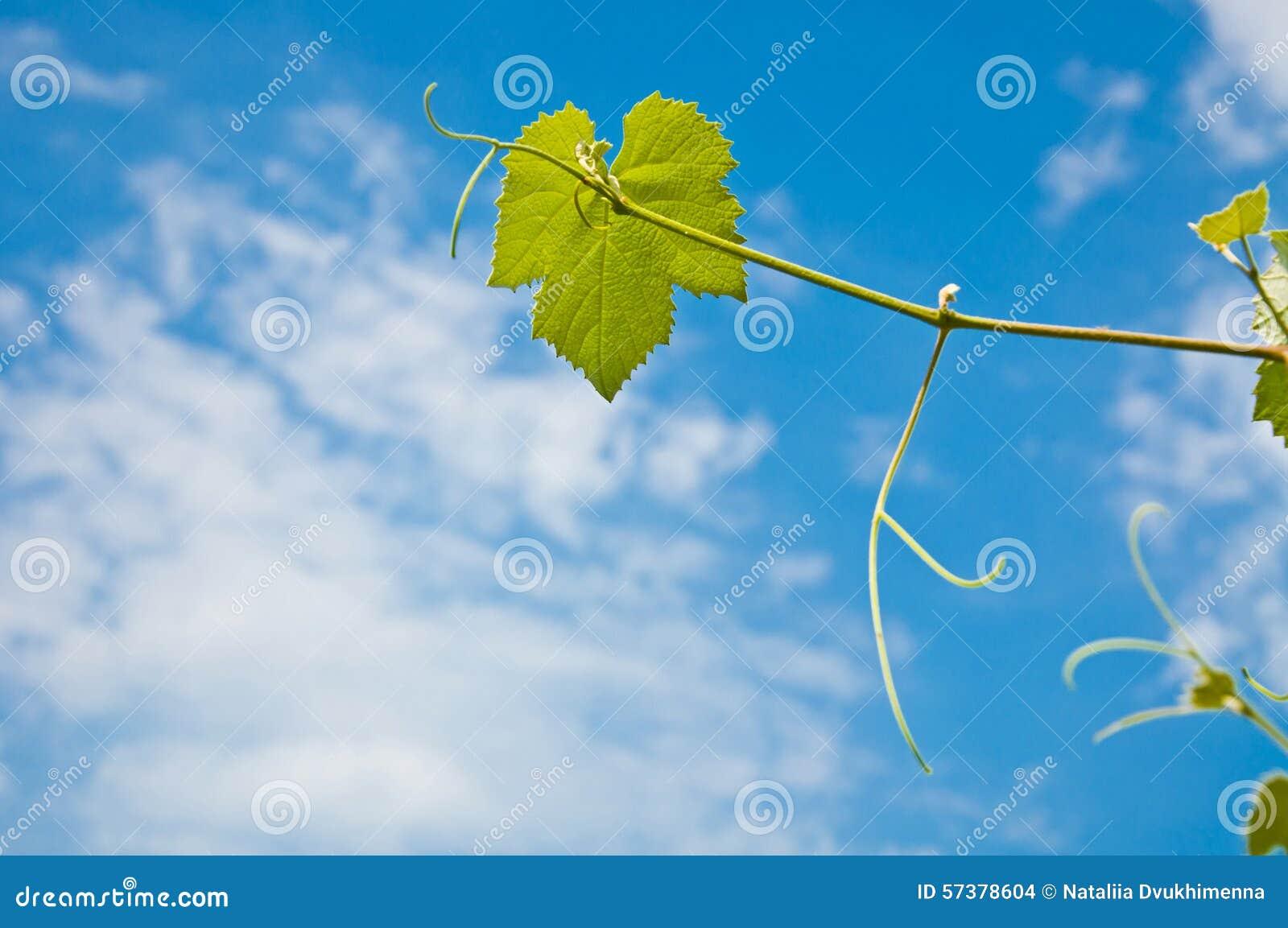 Druivenbladeren op de hemelachtergrond