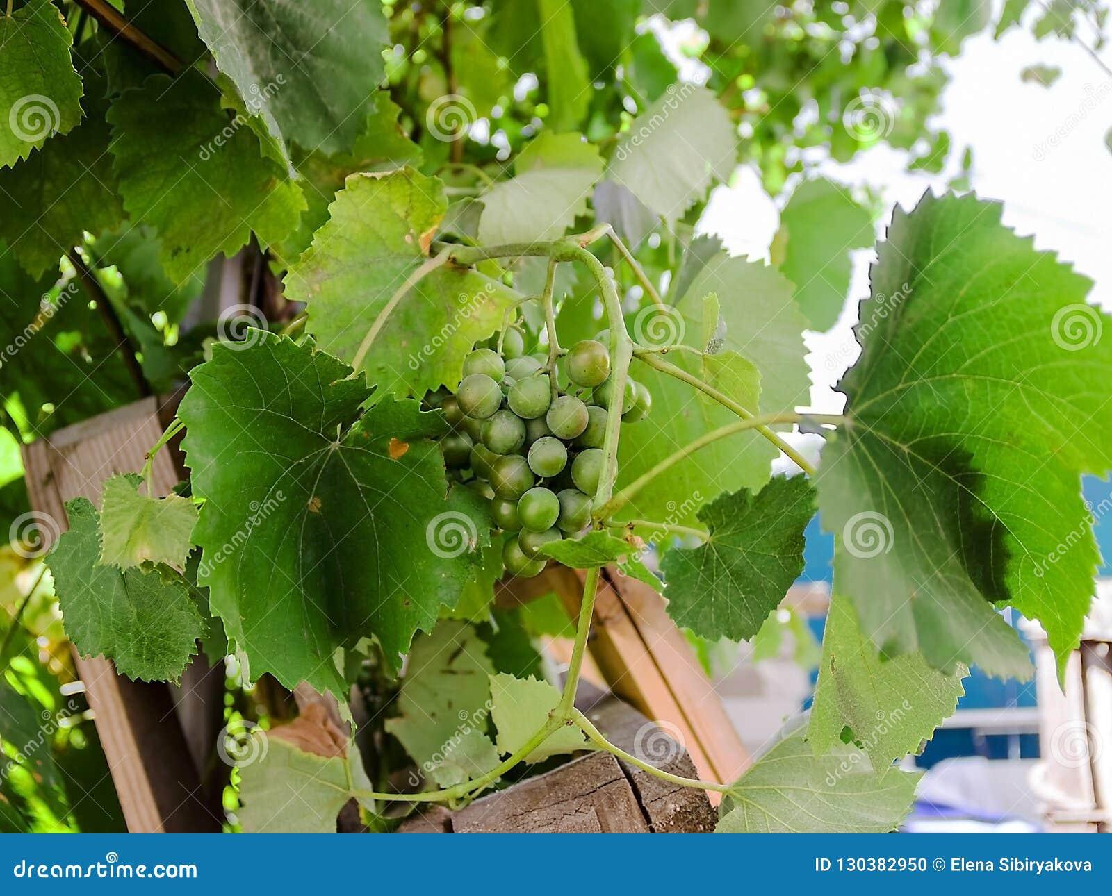 Druvor i trädgården gör grön mycket