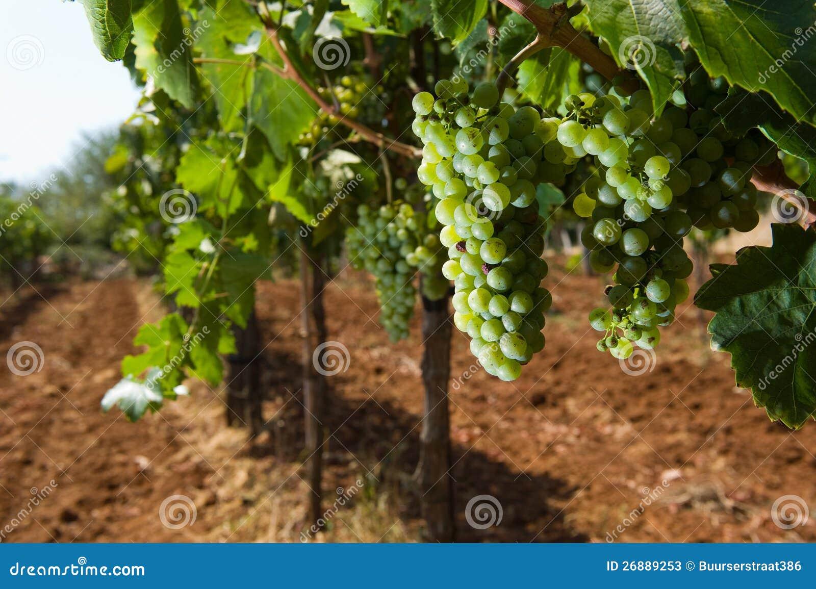 Druvor i vingård