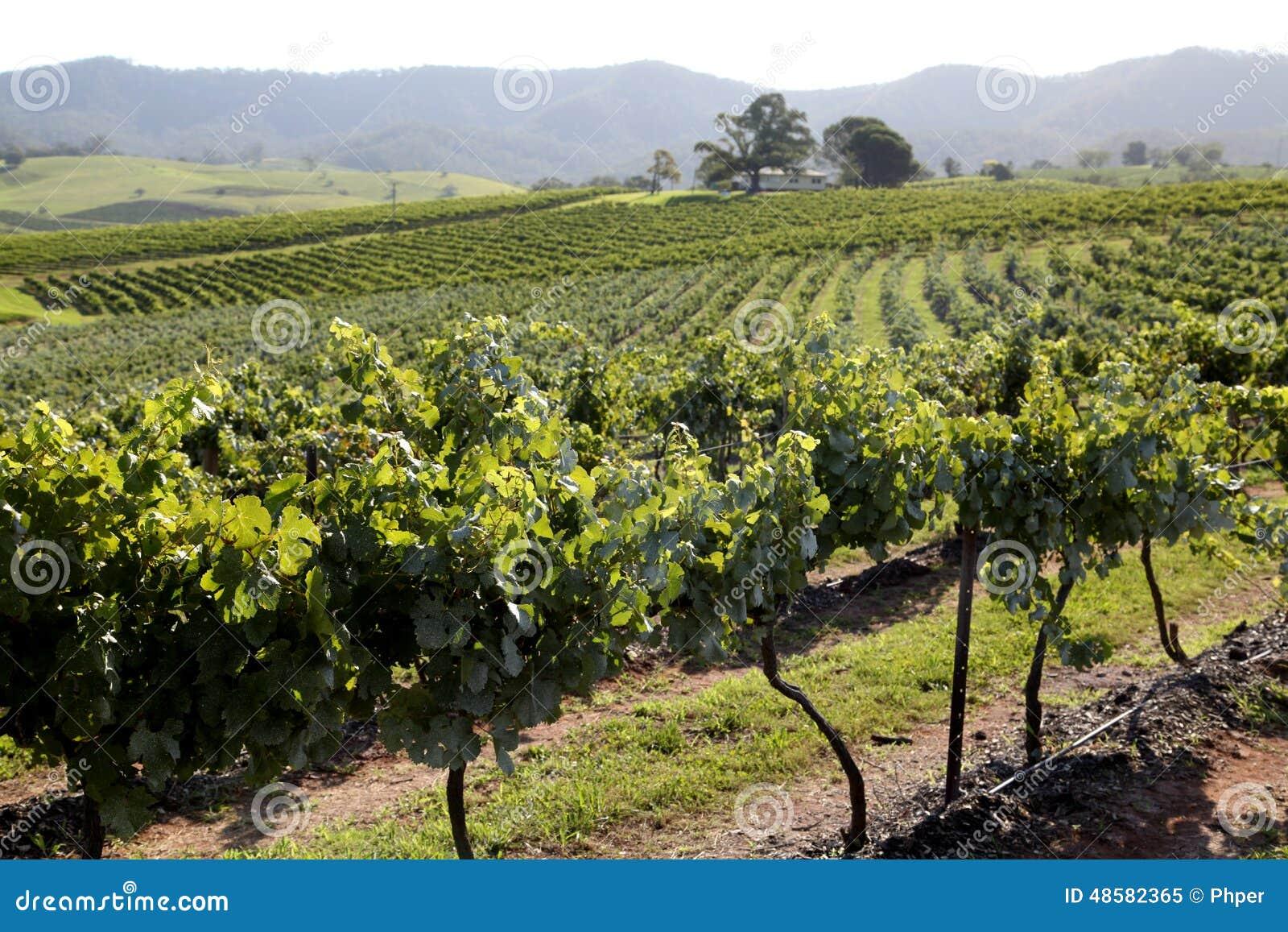 Druvor i winegård
