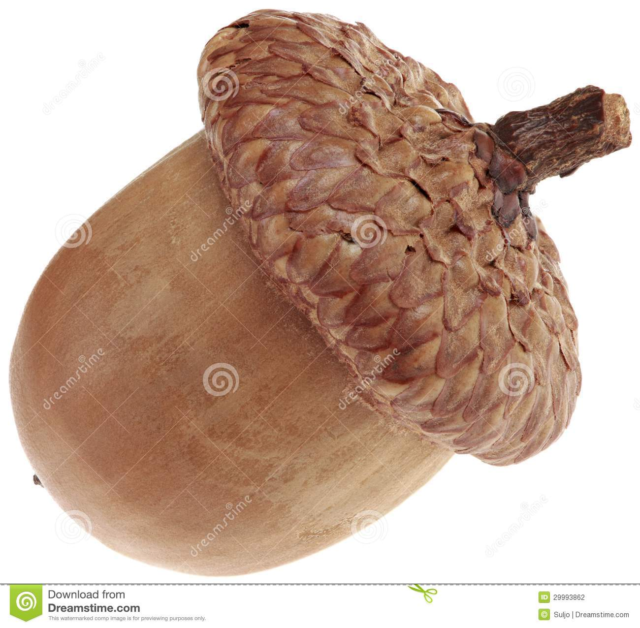 One acorn cutout stock photography image 29993862 for How to preserve acorns