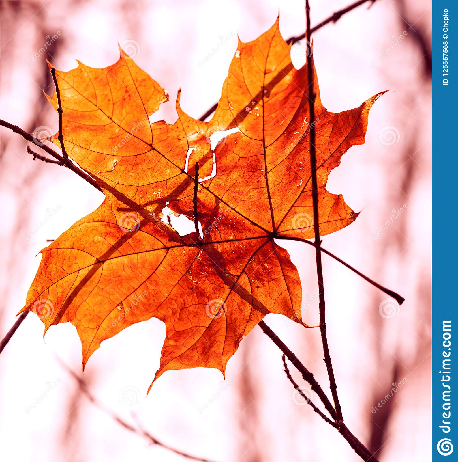 Download Dry Autumn Leaf Stuck In Forest Stock Photo - Image of image, season: 125557568