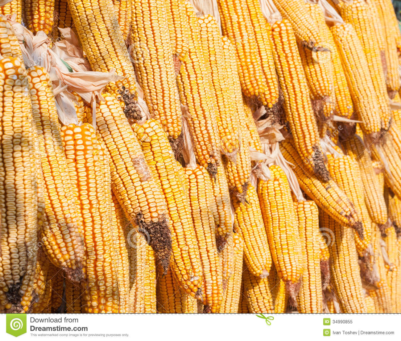 Dry Corn Royalty Free Stock Photo Image 34990855