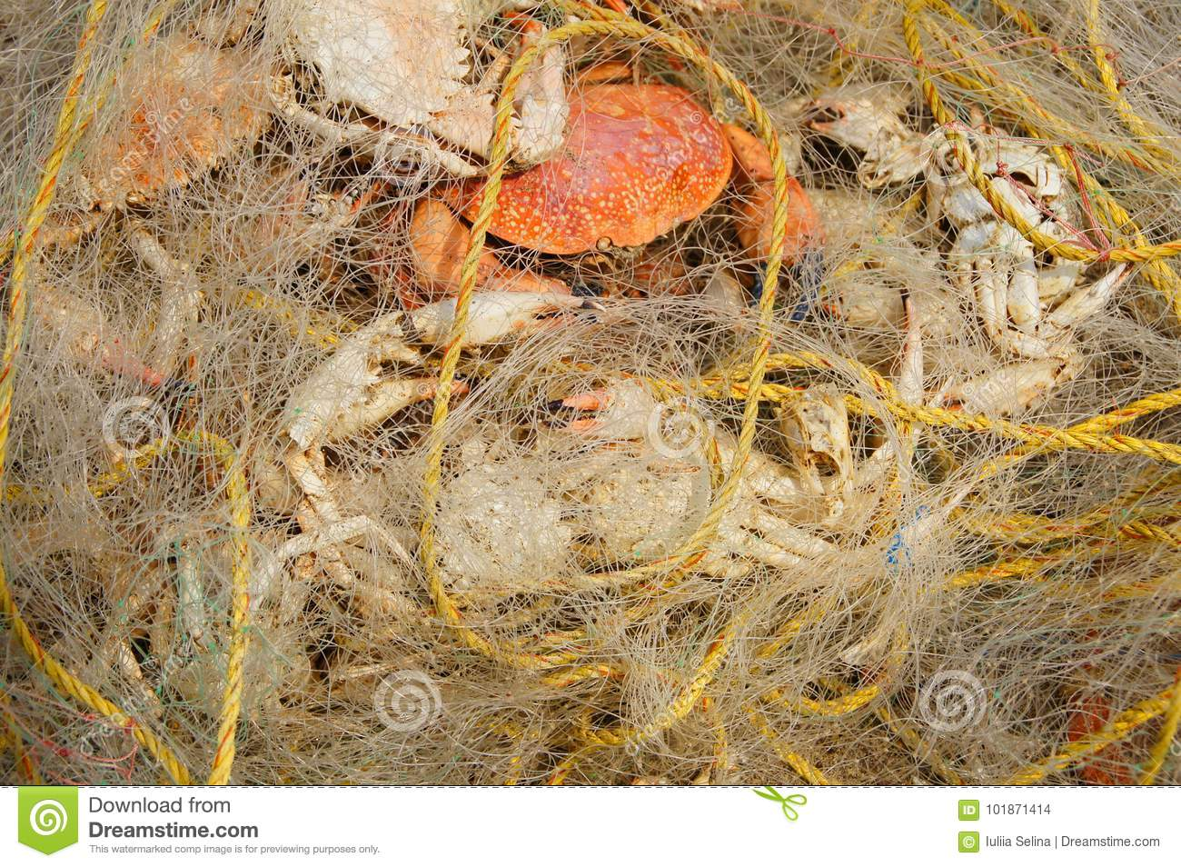 Crabs in the fishing net