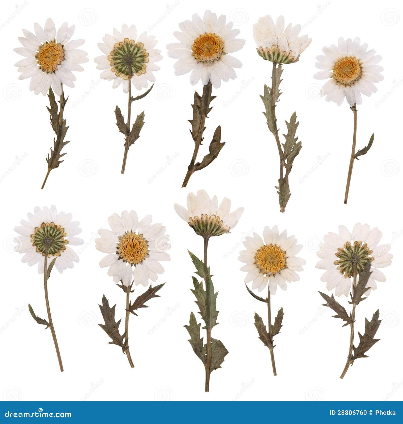 Dry Daisy Flowers Stock Image