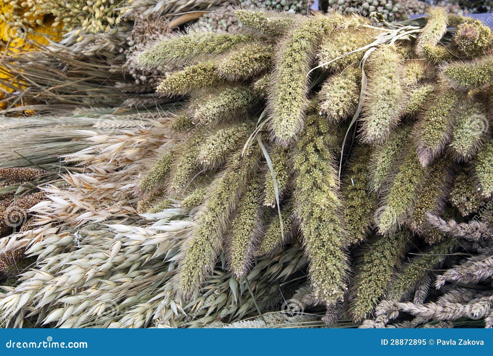 Dry grain plants