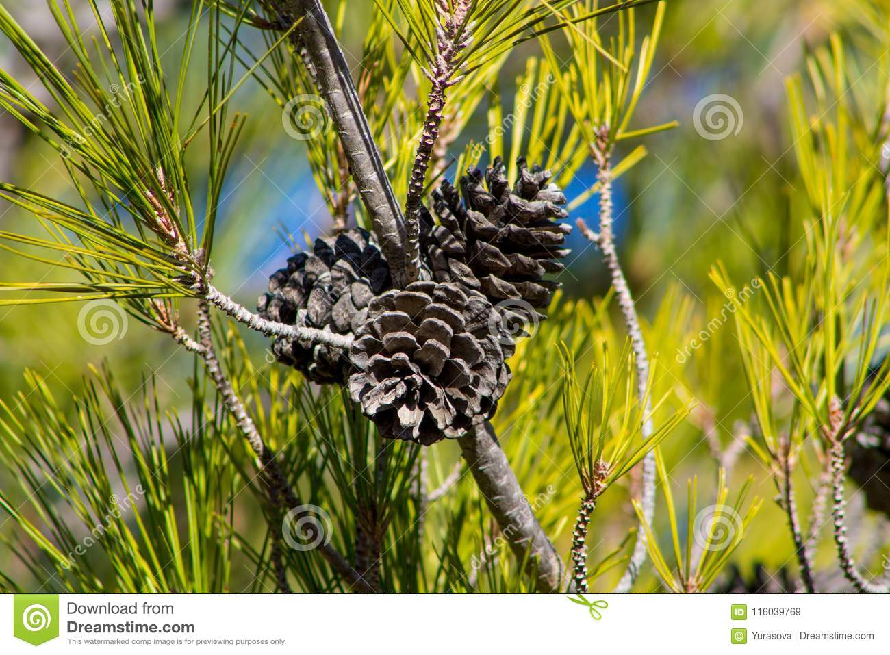 Dry pine cones on a pine tree in the wild forest