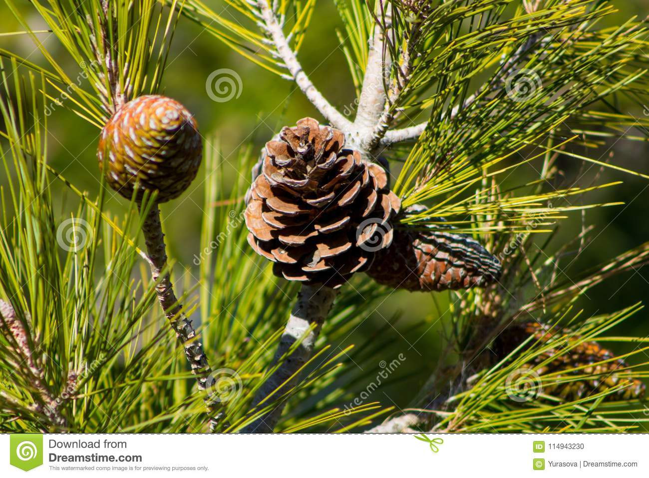 Dry pine cone on a pine tree in the wild