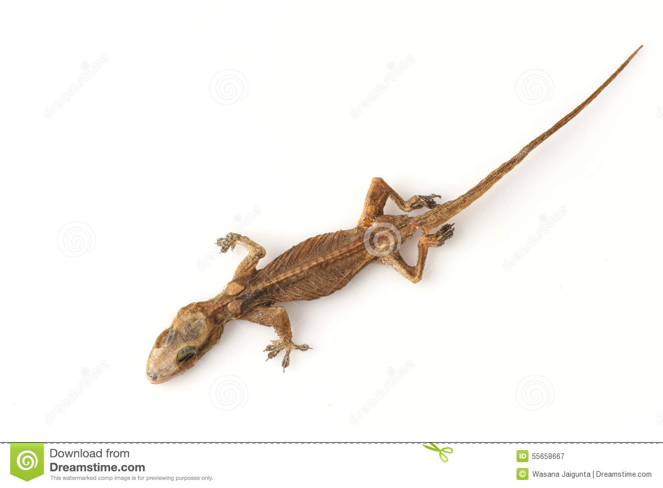 house gecko or half toed gecko or house lizard stock photo image