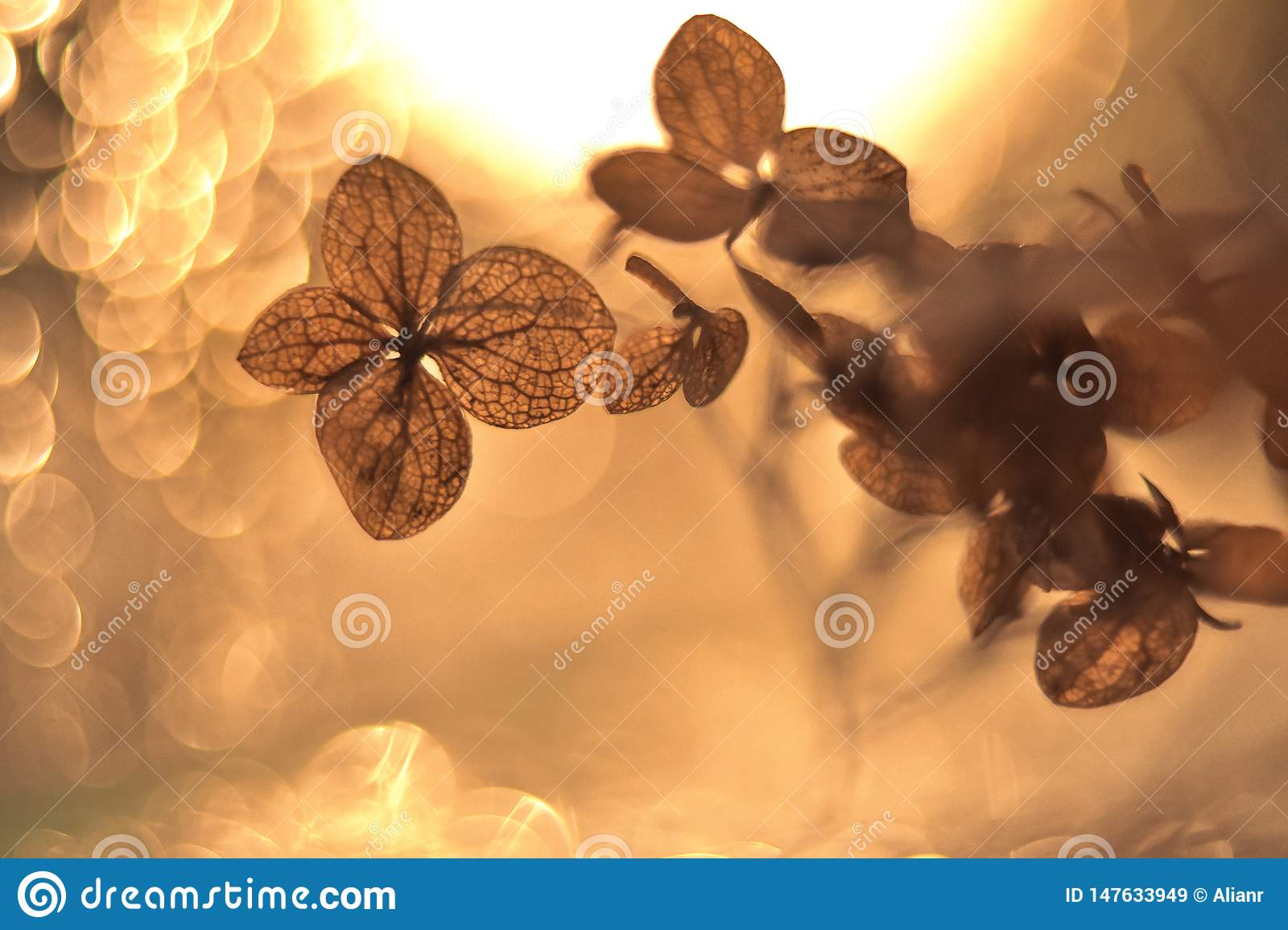 Dry hydrangea flower in the light with the bokeh effect at the background