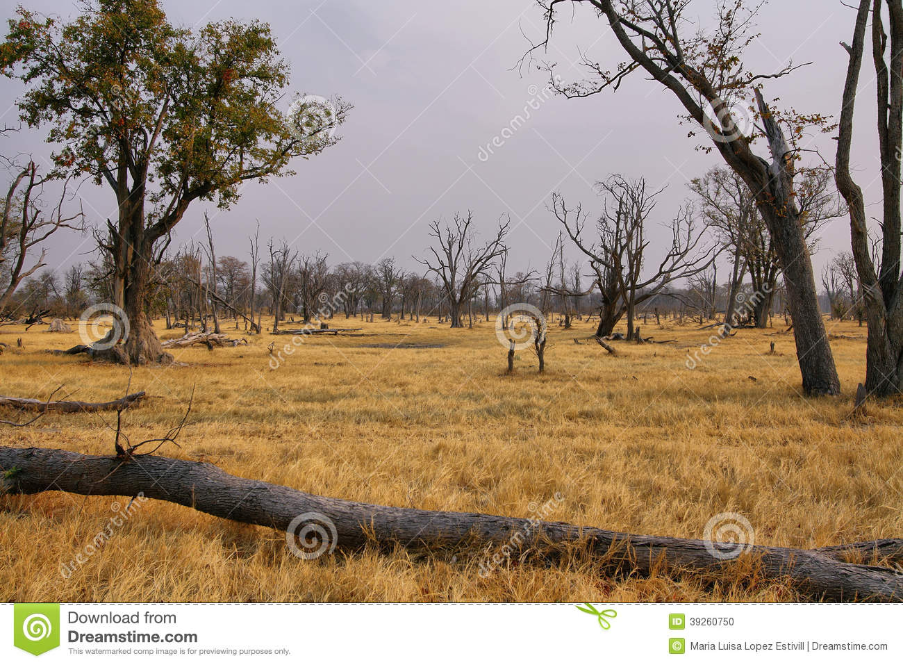 Dry landscape on winter in Moremi game reserve