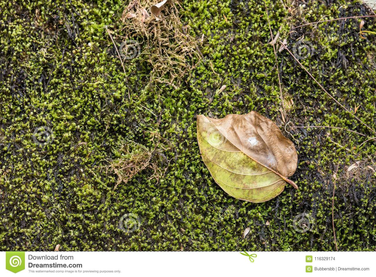 Dry leaf on a mossy rock in a rainforest.Thailand.Copy space background, Use for website banner background, backdrop, montage men