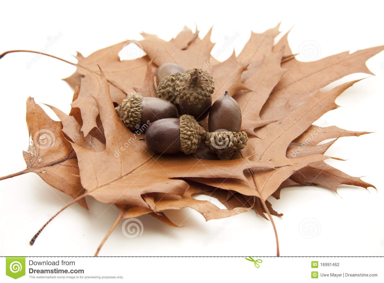 Dry leaves with acorns stock photography image 16991462 for How to preserve acorns