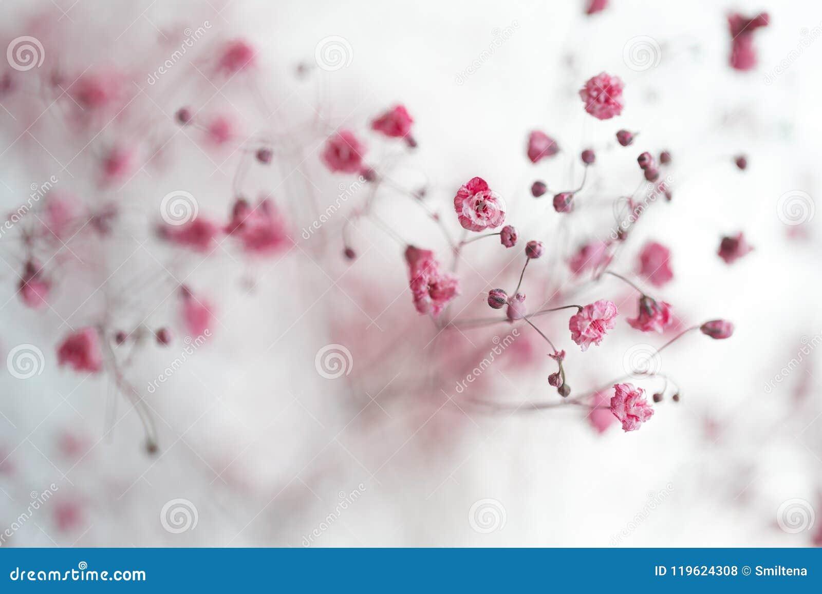 Dry Pink Babys Breath Flowers Stock Photo Image Of Feminine