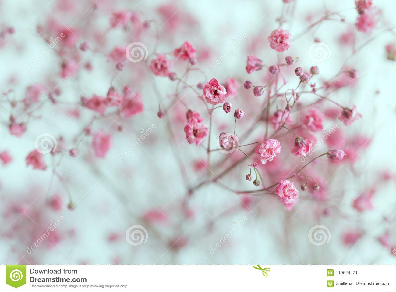 Dry Pink Babys Breath Flowers Stock Image Image Of Bloom Bridal