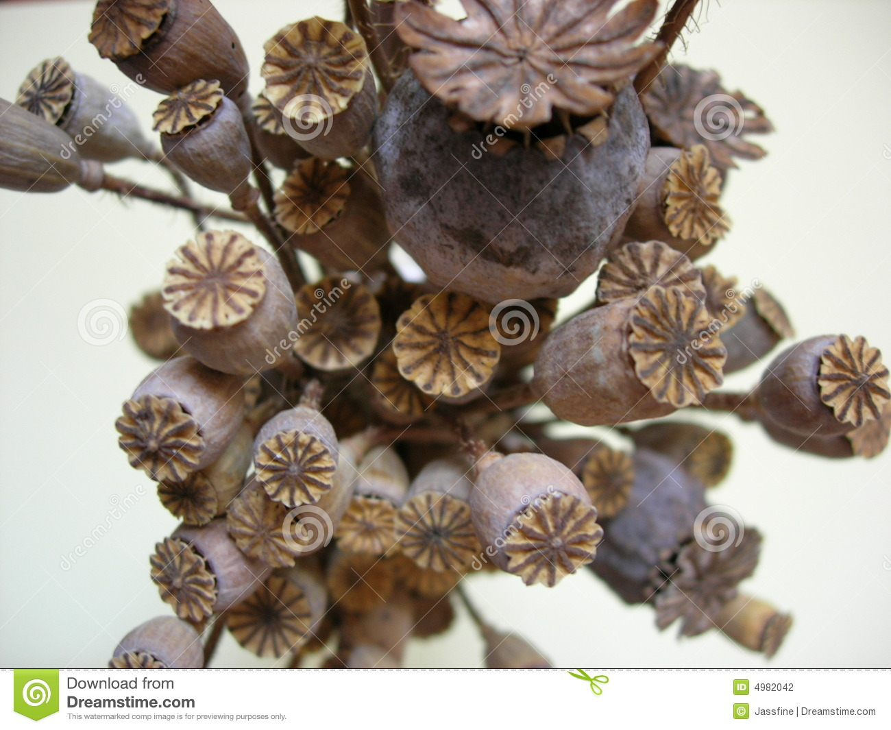 Dry Poppies Stock Photo Image Of Poppies Seed Seeds 4982042