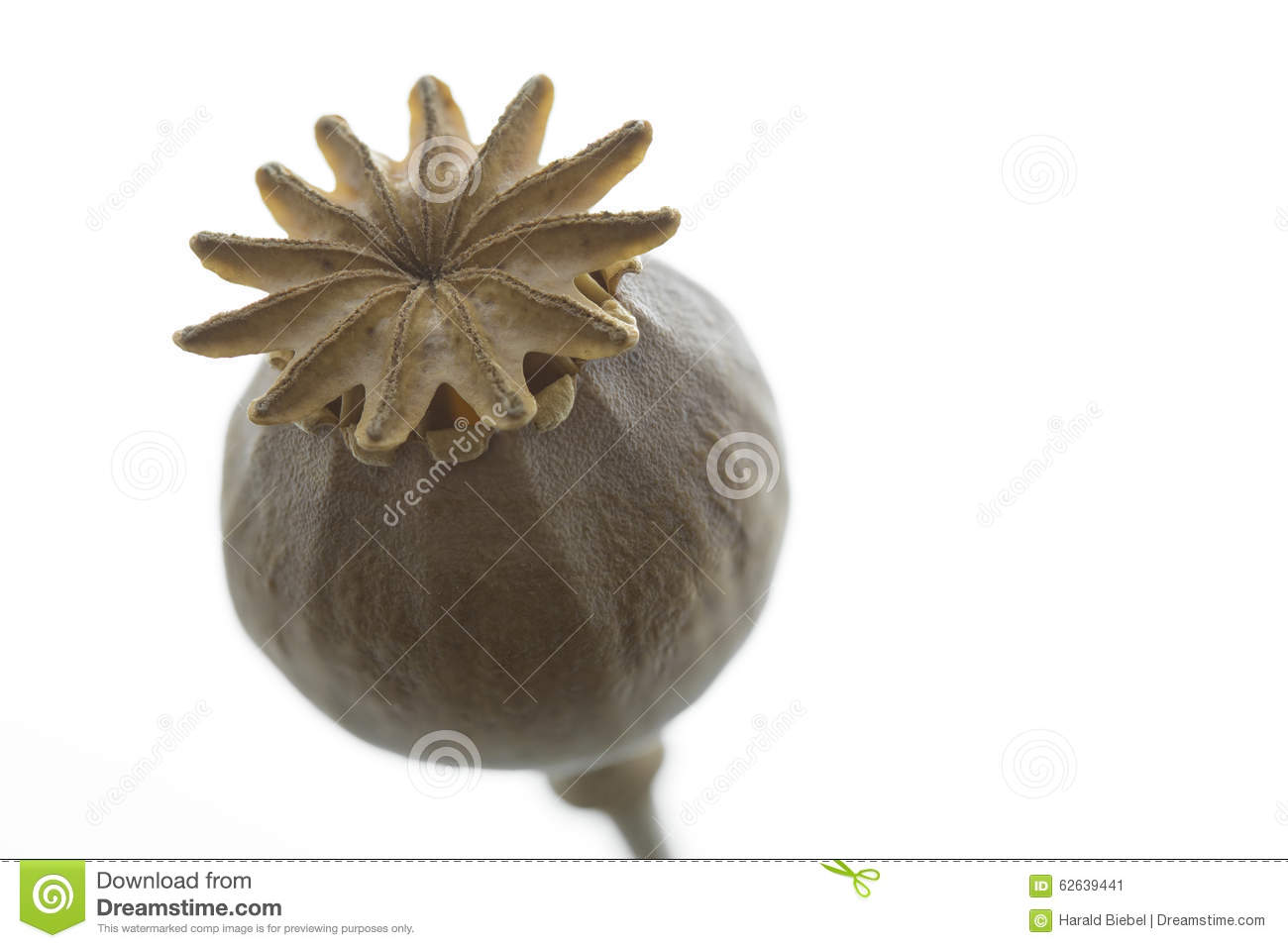Dry Poppy Flower Closeup Isolated Stock Image Image Of Natural