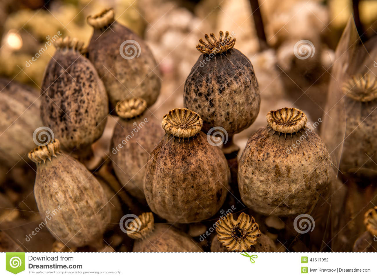 Dry Poppy Pods Stock Photo Image Of Decoration Purchase 41617952