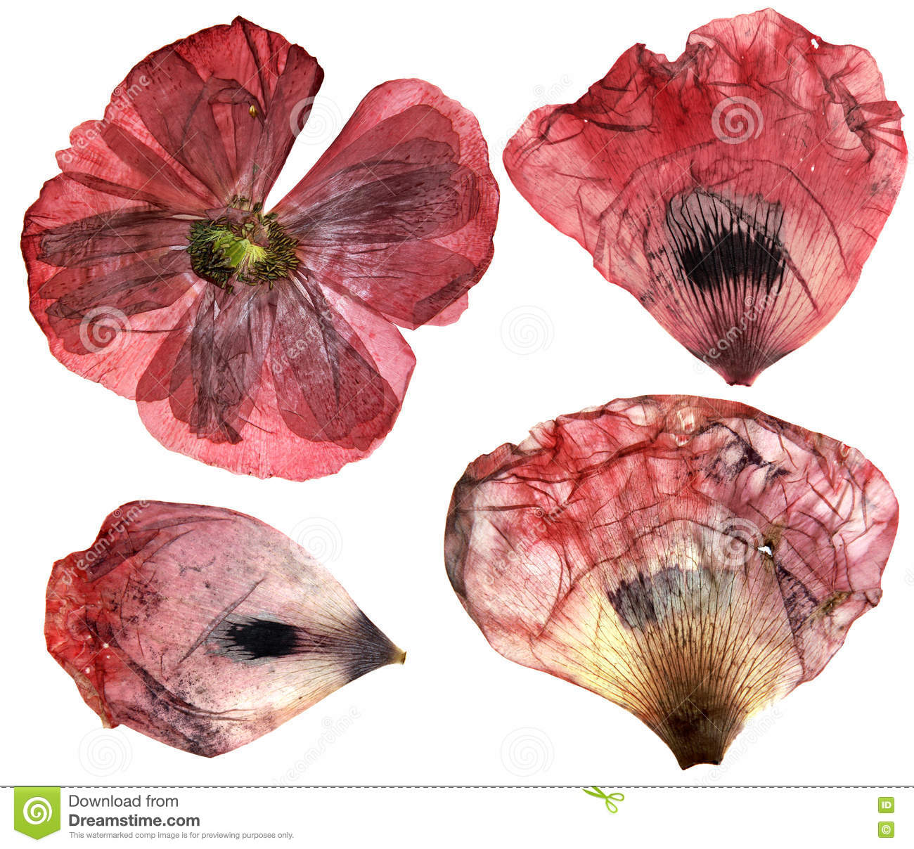 How to scrapbook like poppy - Dry Pressed Poppy Perspective Delicate Flowers And Petals Iso Royalty Free Stock Photo