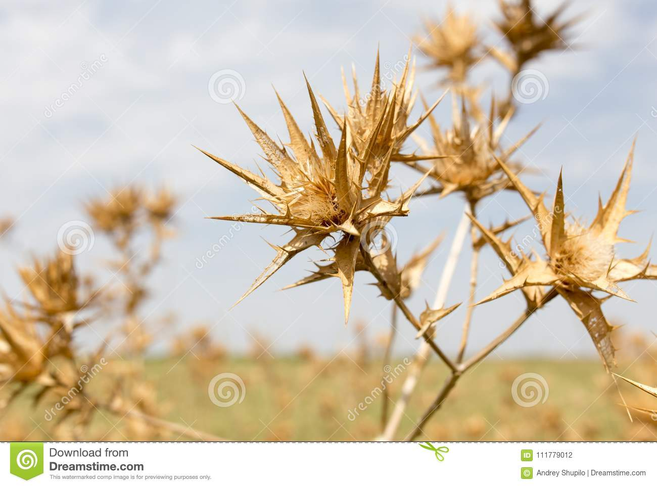 Dry prickly grass against the sky