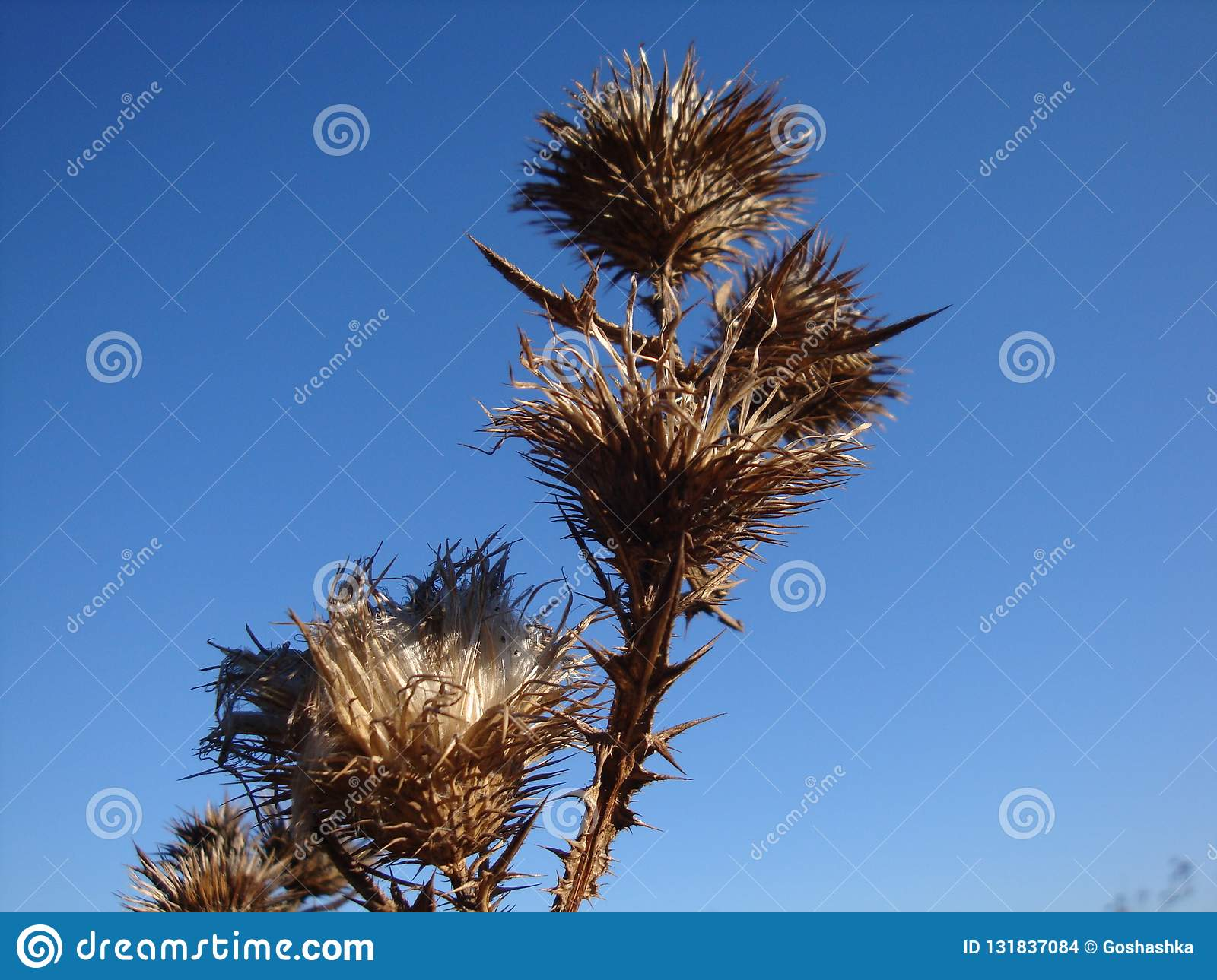 A dry and prickly thorn bush on a dry field