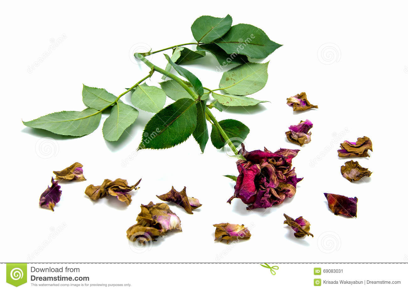 Dry red rose and petals on white background