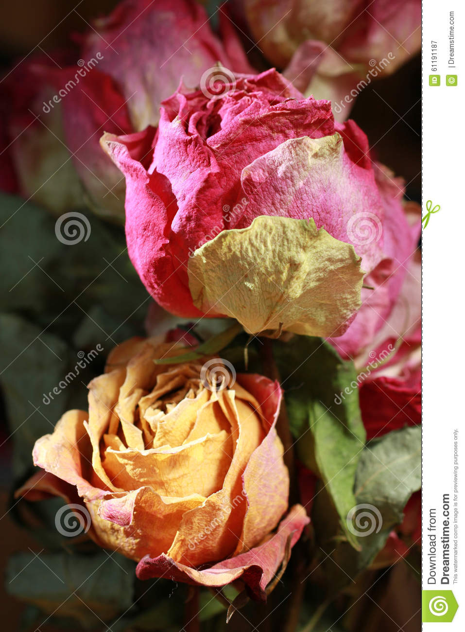 dry roses peach and pink colour stock image image of peach nature