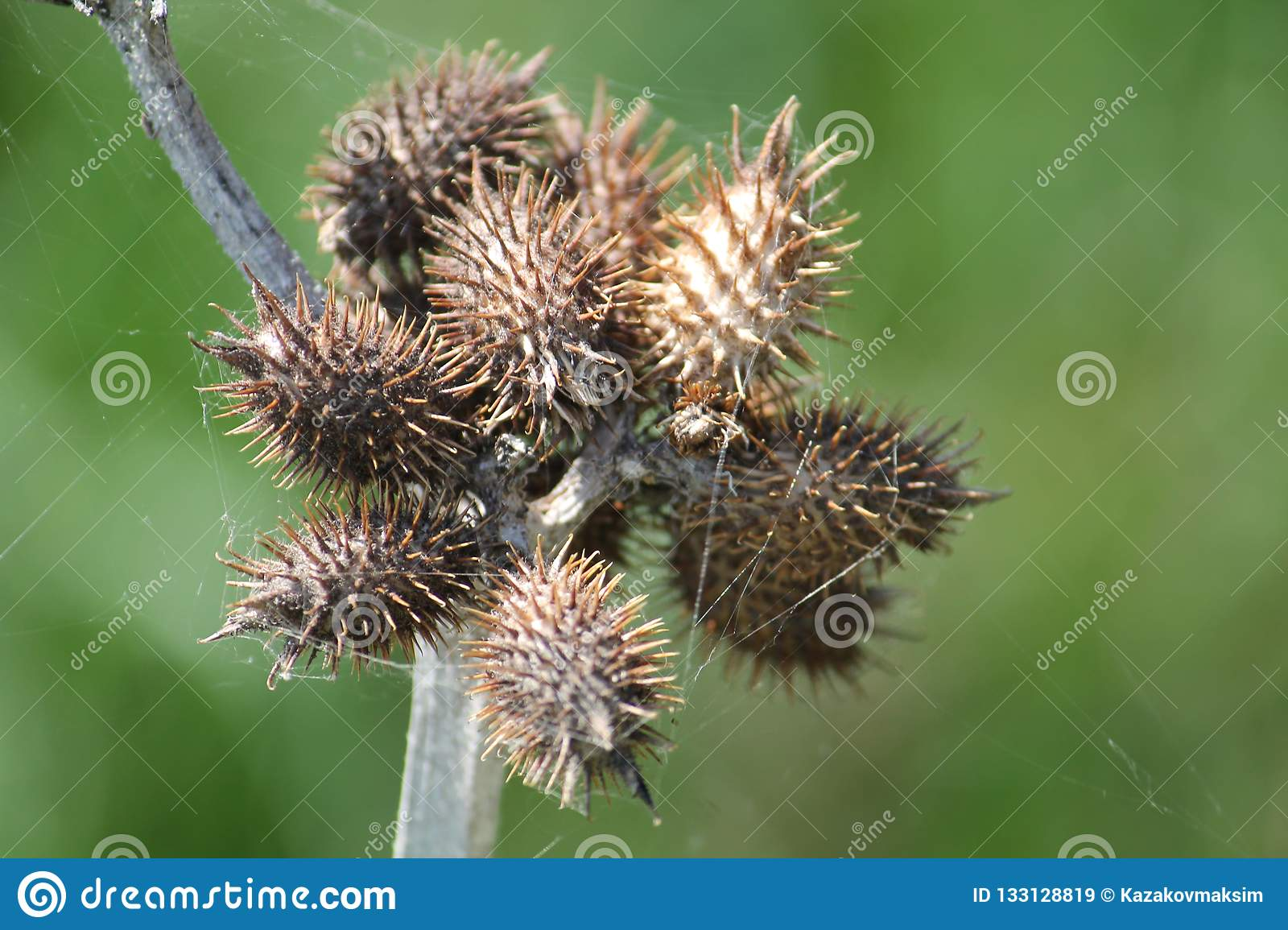 Dry Spiny Fruits Of Common Cocklebur Xanthium Strumarium Or