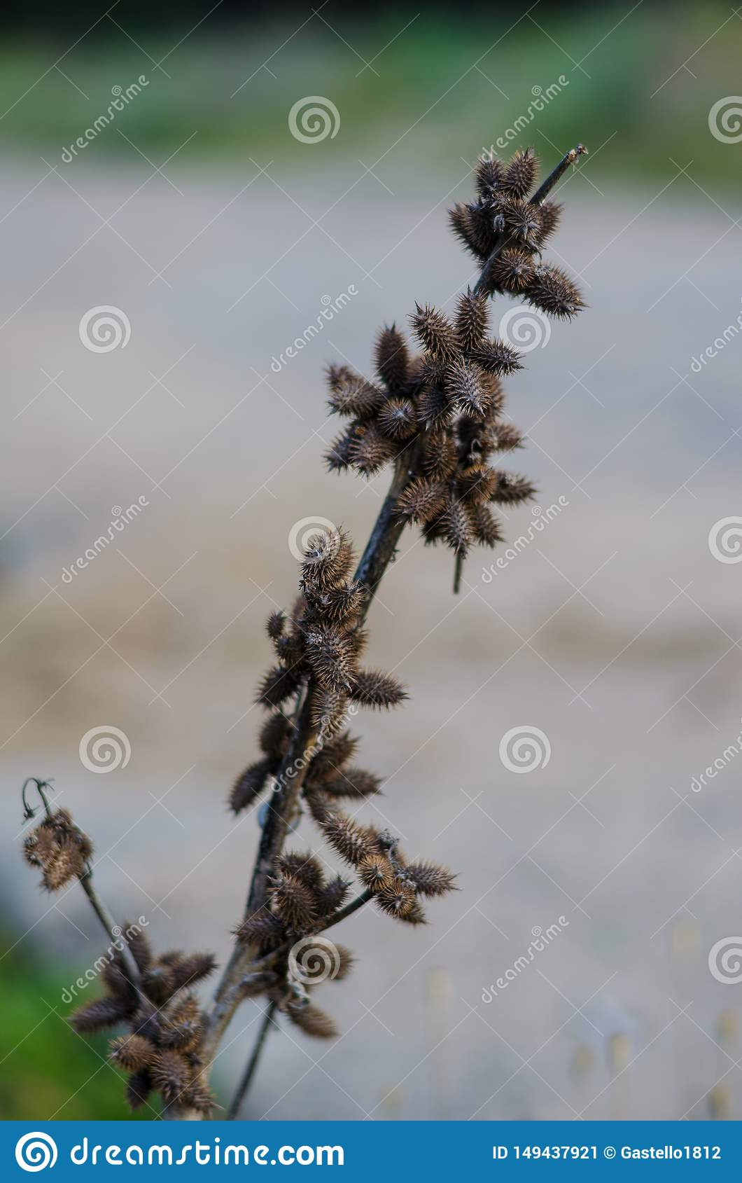Dry stem with prickly fruits on it. Diagonal arrangement. Blurred background