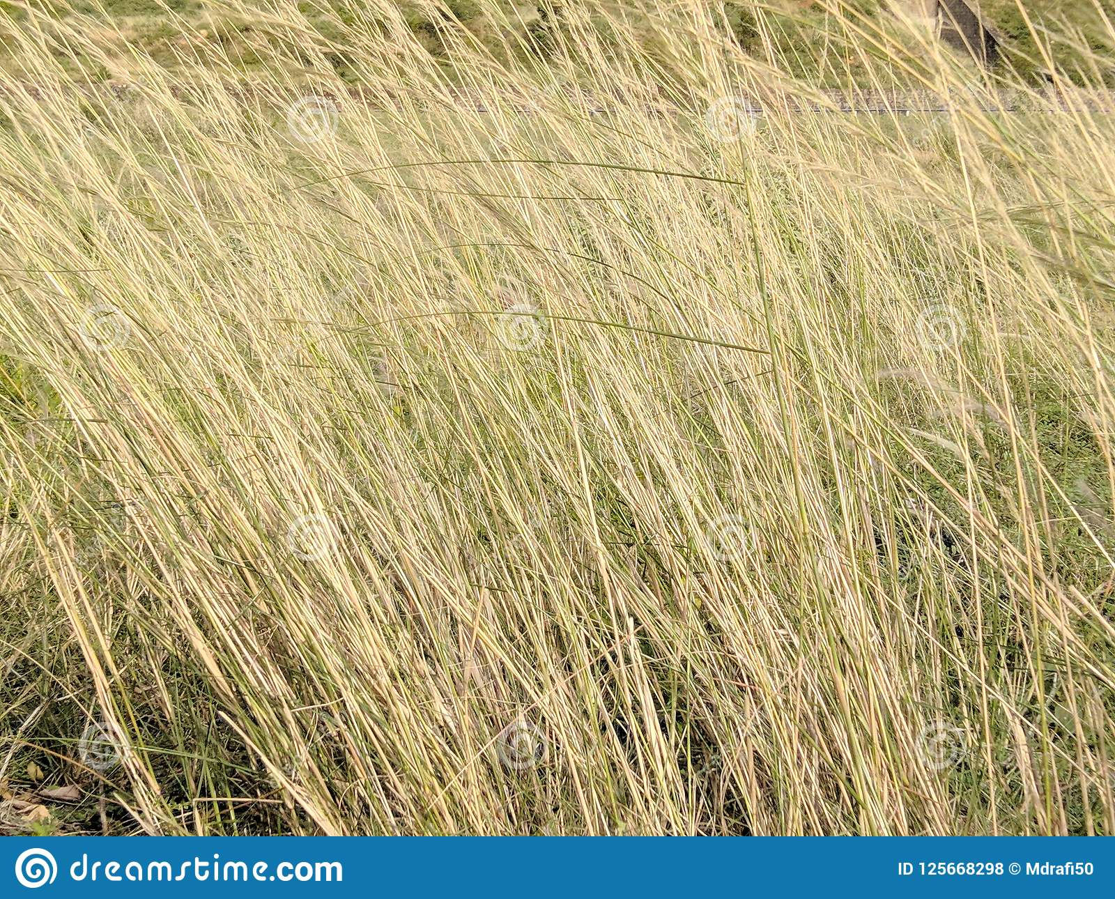 wild grass texture. Download Dry Tall Grass Texture Stock Photo. Image Of - 125668298 Wild