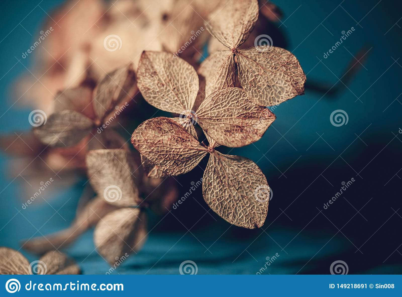 Dry textured hydrangea petals on a dark blue background close-up. Dried flowers hydrangea. Potpourri macro. Selective focus