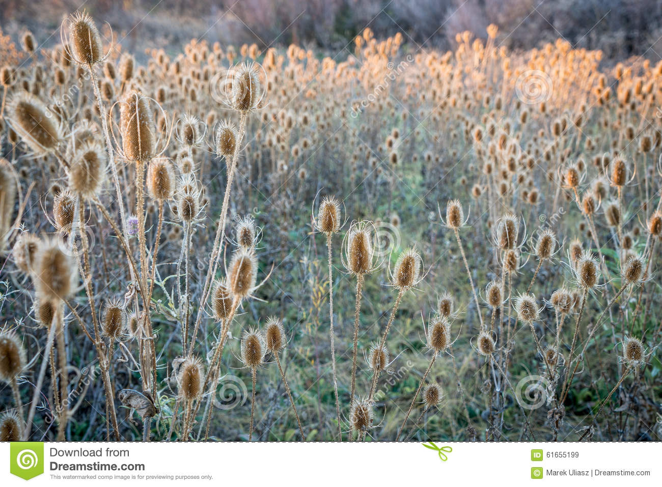 Dry thistle field at fall sunset