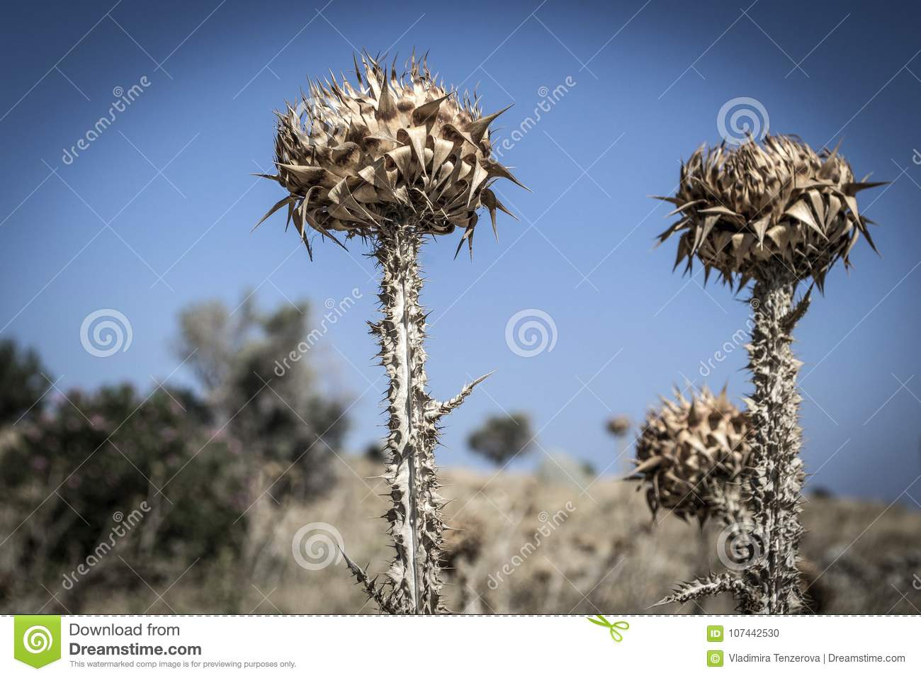 Dry thistles against the blue sky