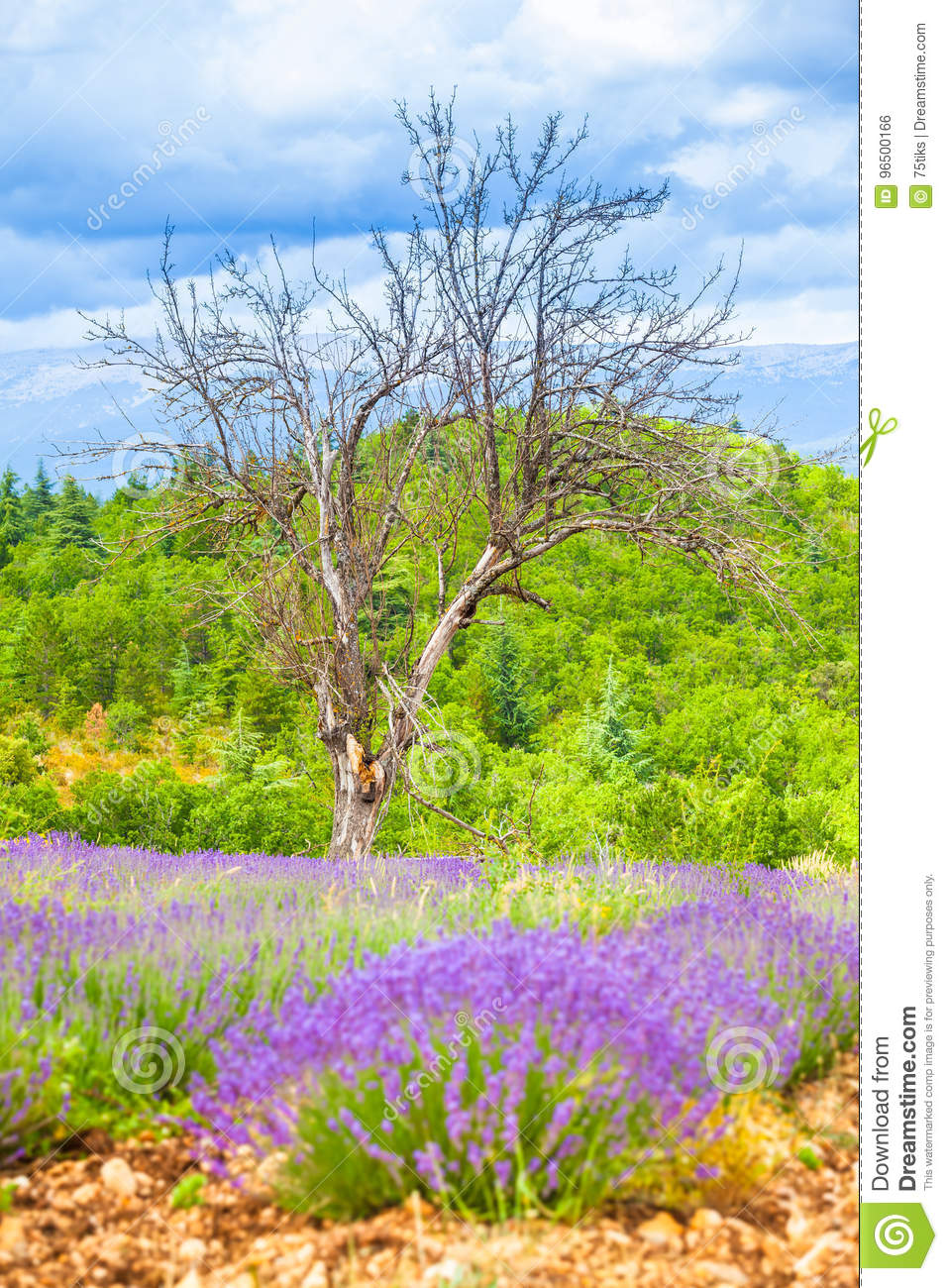 Dry Tree Lavender Bloom Green Hill Stock Photo Image Of