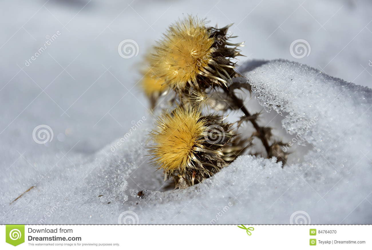 Dry yellow flower in the snow