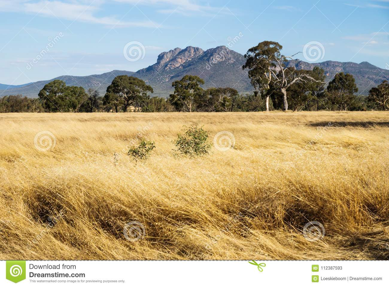 Dry grassland landscape in the bush with Grampians mountains in the background, Victoria, Australia